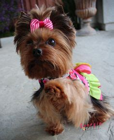 yorkie round face cut 1000 images about yorkie hair cuts on pinterest yorkie