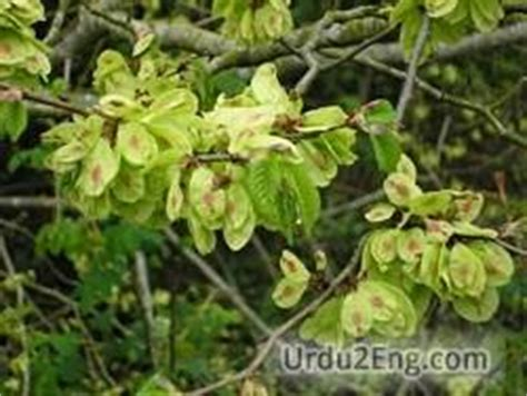elm tree meaning elm tree meaning elm urdu meaning