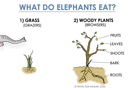 what does it when a eats grass what do elephants eat you might be surprised travel for wildlife