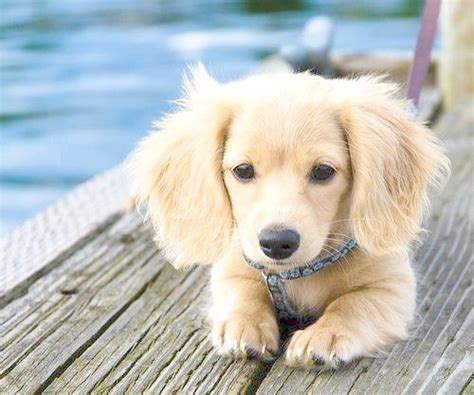 can a golden retriever live in an apartment the canine roommate top 10 best breeds for apartment living dachshund puppies