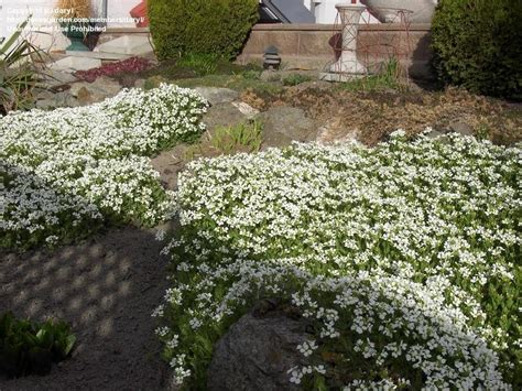 Rock Garden Plants For Sale Plantfiles Pictures Alpine Rock Cress Arabis Alpina By Daryl
