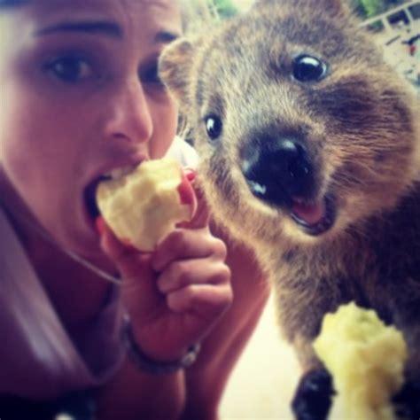 animale vanitoso quokka l animale da selfie pi 249 bello web oltreuomo