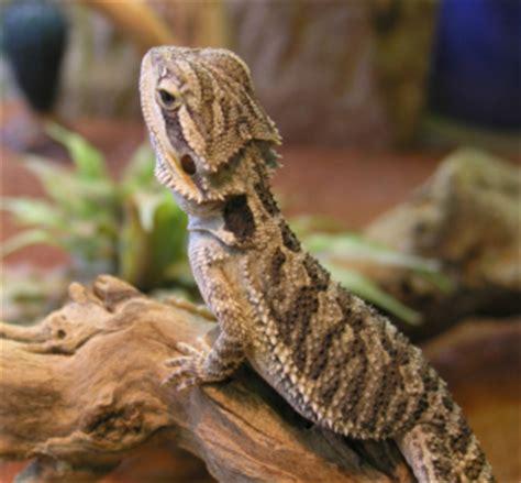alimentazione drago barbuto il drago barbuto pogona prezzo cura e allevamento