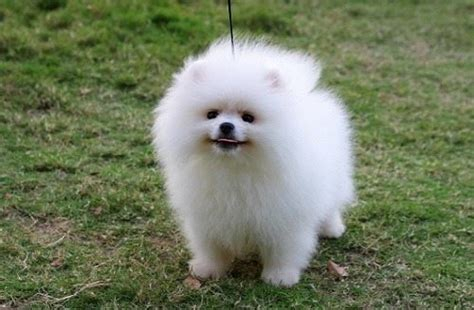 how much is a teacup pomeranian how much does a pomeranian cost in 2017 thehappypooch