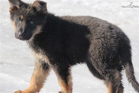 silver german shepherd puppies for sale silver german shepherd puppy for sale near grand rapids michigan 494b24d9 cea1