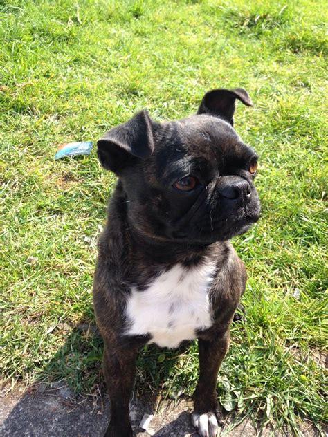 boston terrier pug for sale pug x boston terrier for sale dagenham essex pets4homes