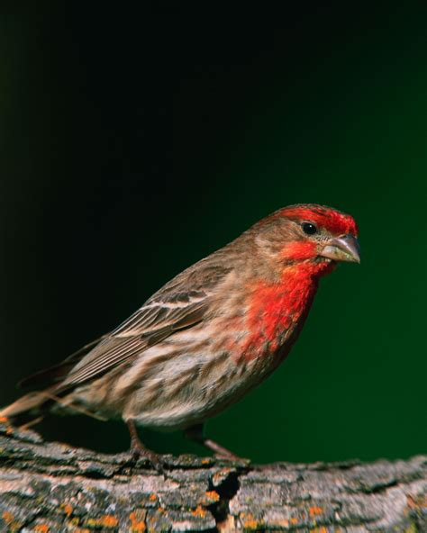 male house finch men s hair and the male house finch wild about utah