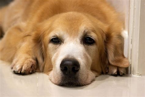 golden retriever cancer new dna vaccine may help some dogs with melanoma dr marty becker