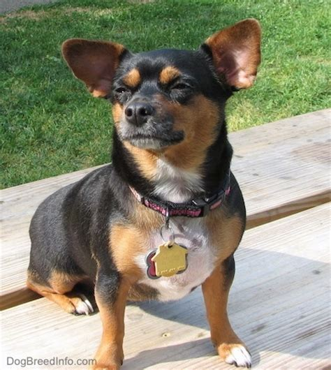 chihuahua weiner chiweenie breed information and pictures