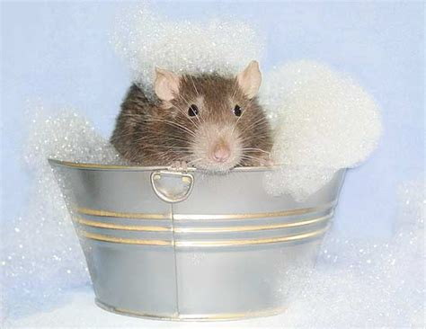 mice in bathroom fark com 1606845 after discovering rats like to take