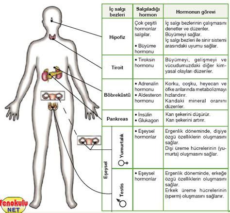Poster Sistem Endokrin denetleyici ve d 252 zenleyici sistemimiz konu anlat箟m箟