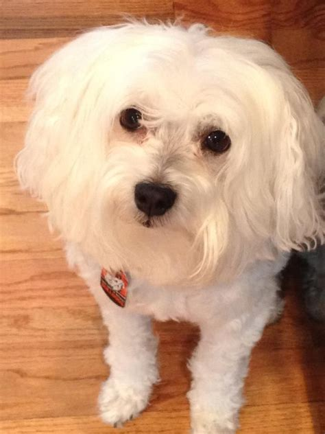 maltese in chinese 1000 images about finn the chinese crested powder puff