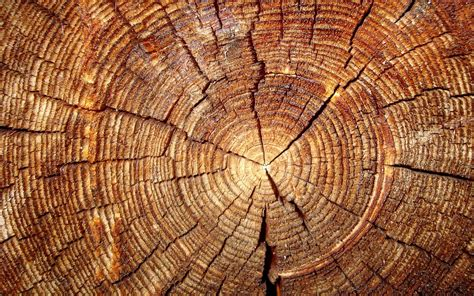tree ring tree rings reveal secret clocks that could reset key dates