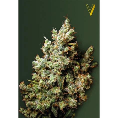 Northern Light From Victory Seeds Strains Io Cannabis Northern Lights Outdoor Yield