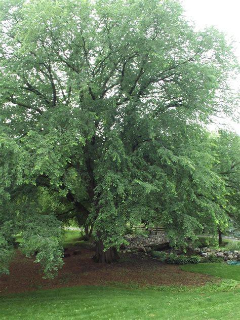 elm tree symbolism 100 elm tree symbol elm tree capital llc android