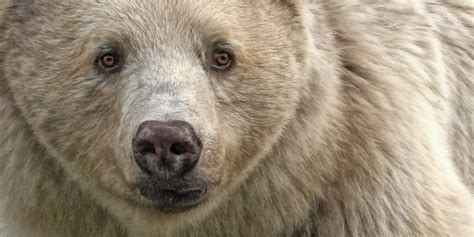 Cheapest Rent In United States the elusive spirit bear of b c may be facing a threat