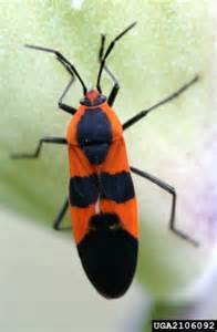 do milkweed bugs show a color preference for egg laying sites