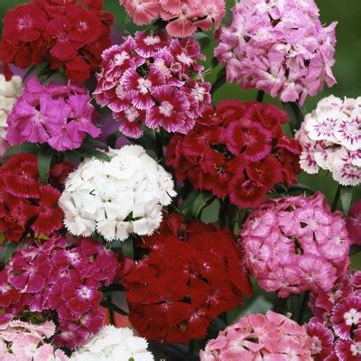 plantation products  sweet william perennial tall