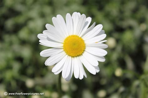 daisy flower close up of daisy flower flower pictures 240