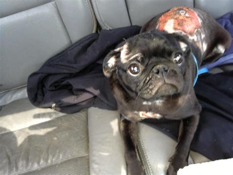 pug rescue shelter mid atlantic pug rescue petfinder foundation