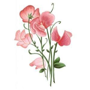 sweet pea flowers polyvore tattoos pinterest