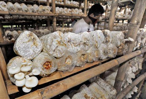 Bibit Jamur Tiram Kota Serang Banten produksi jamur meningkat