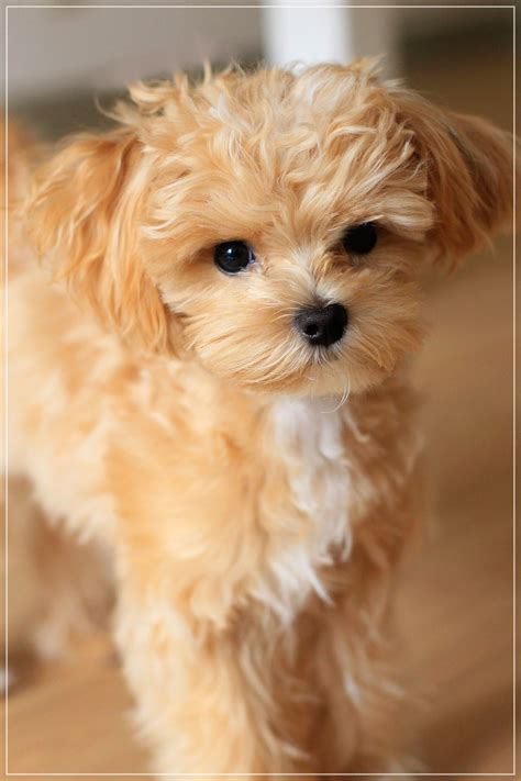 teacup poodle mixed with yorkie maltipoo maltese poodle mix teacup dogs maltese poodle mix maltese