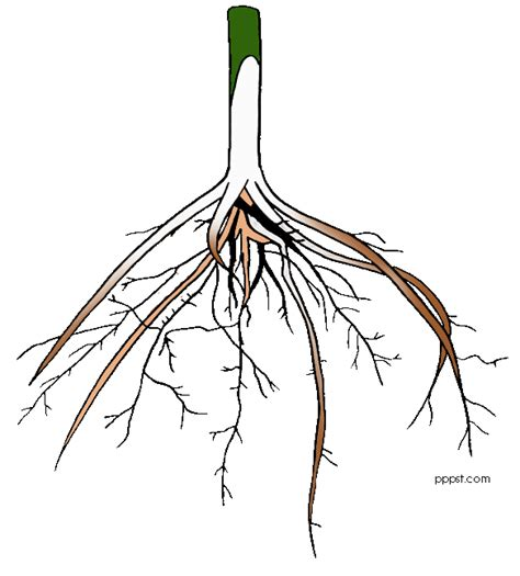 Roots Clipart root clipart panda free clipart images