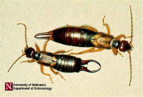 earwigs department of entomology nebraska
