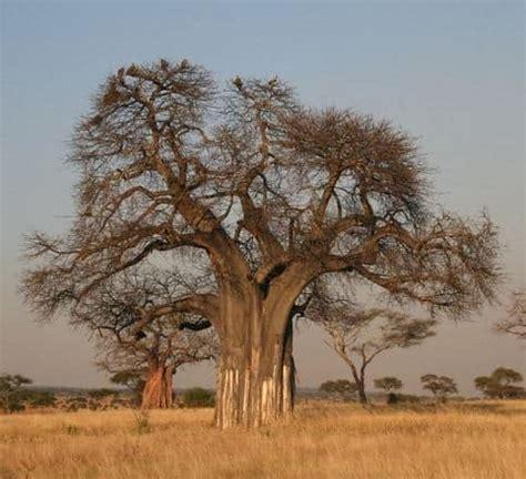 Benih Baobab Adansonia Digitata jual benih baobab adansonia digitata 5 biji non retail