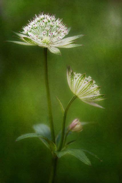tatuaggi fiori bianchi ensphere astrantia by mandy disher florals on flickr