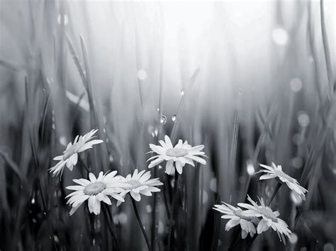 wallpaper black and white flowers black and white flowers wallpaper 1 widescreen wallpaper