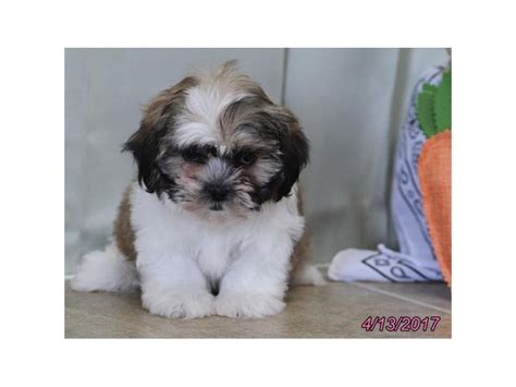 petland ohio puppies zuchon petland carriage place