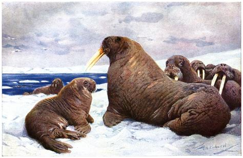 Walrus | Animals Backgrounds