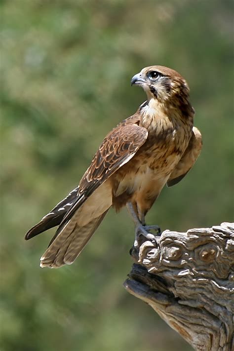 images of a falcon declared extinct today the eastern tennessee bush raptor