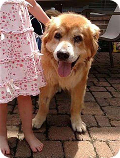 coyote golden retriever mix houston tx golden retriever chow chow mix meet odie coyote a for adoption