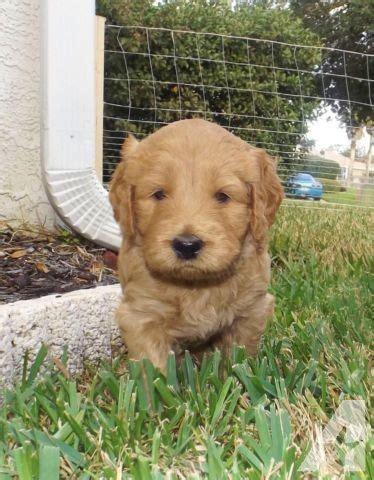 retriever doodle puppies for sale adorable american retriever doodle puppies
