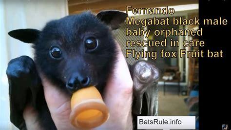 fruit bat pet fruit bats as pets
