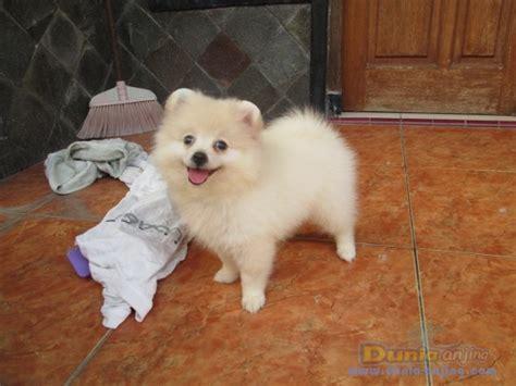pom pom top atasan anak lucu dunia anjing jual anjing pomeranian anak an pom putih