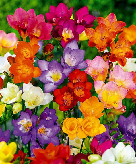 fiori da bulbi acquista confezione bulbi di fiori estivi bakker