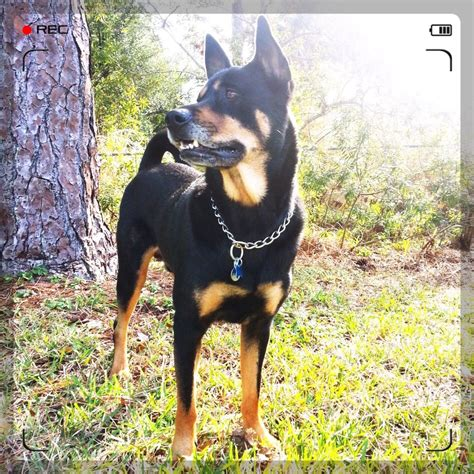 akita mix with rottweiler this is my german shepherd rottweiler mix i also