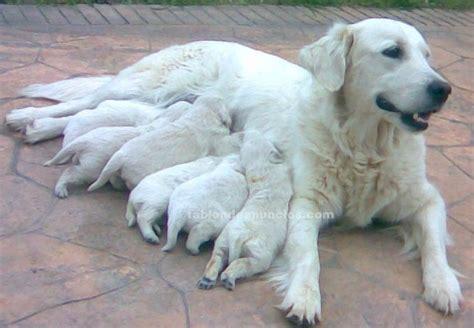 golden retriever blanco tabl 211 n de anuncios se venden cachorros de golden retriever