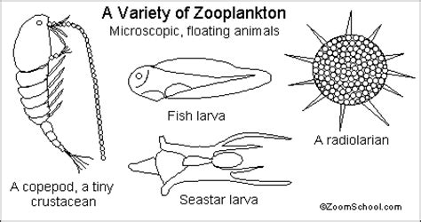 zooplankton enchanted learning software
