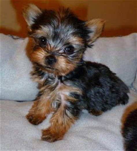 save a yorkie save a yorkie rescue petfinder foundation