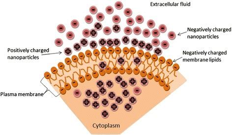scheme showing positively charged nanoparticles