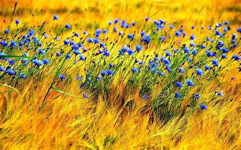 hd wallpaper blue nature blue wind nature field flowers hd wallpapers new hd