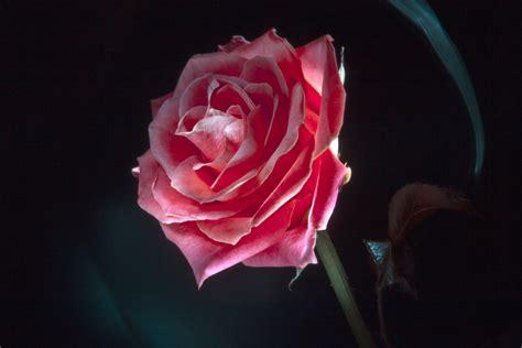 imagenes grandes oscuras simbolog 205 as notas para una simbolog 237 a de la rosa
