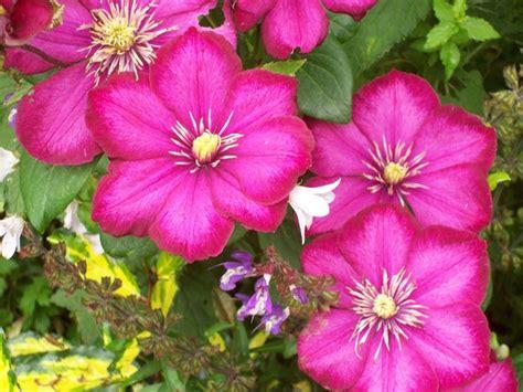 ricanti fioriti resistenti al freddo piante ricanti sempreverdi resistenti al freddo