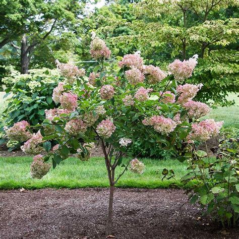 25 best ideas about hydrangea paniculata on pinterest limelight hydrangea hydrangea tree and