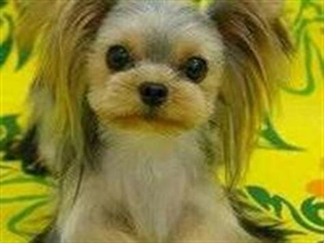 bread yorkie 1000 images about bread cuts on shih tzu yorkie and pomeranian haircut